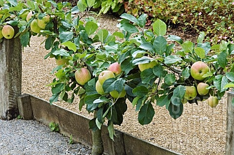 Stepover Apple Trees For Your Garden