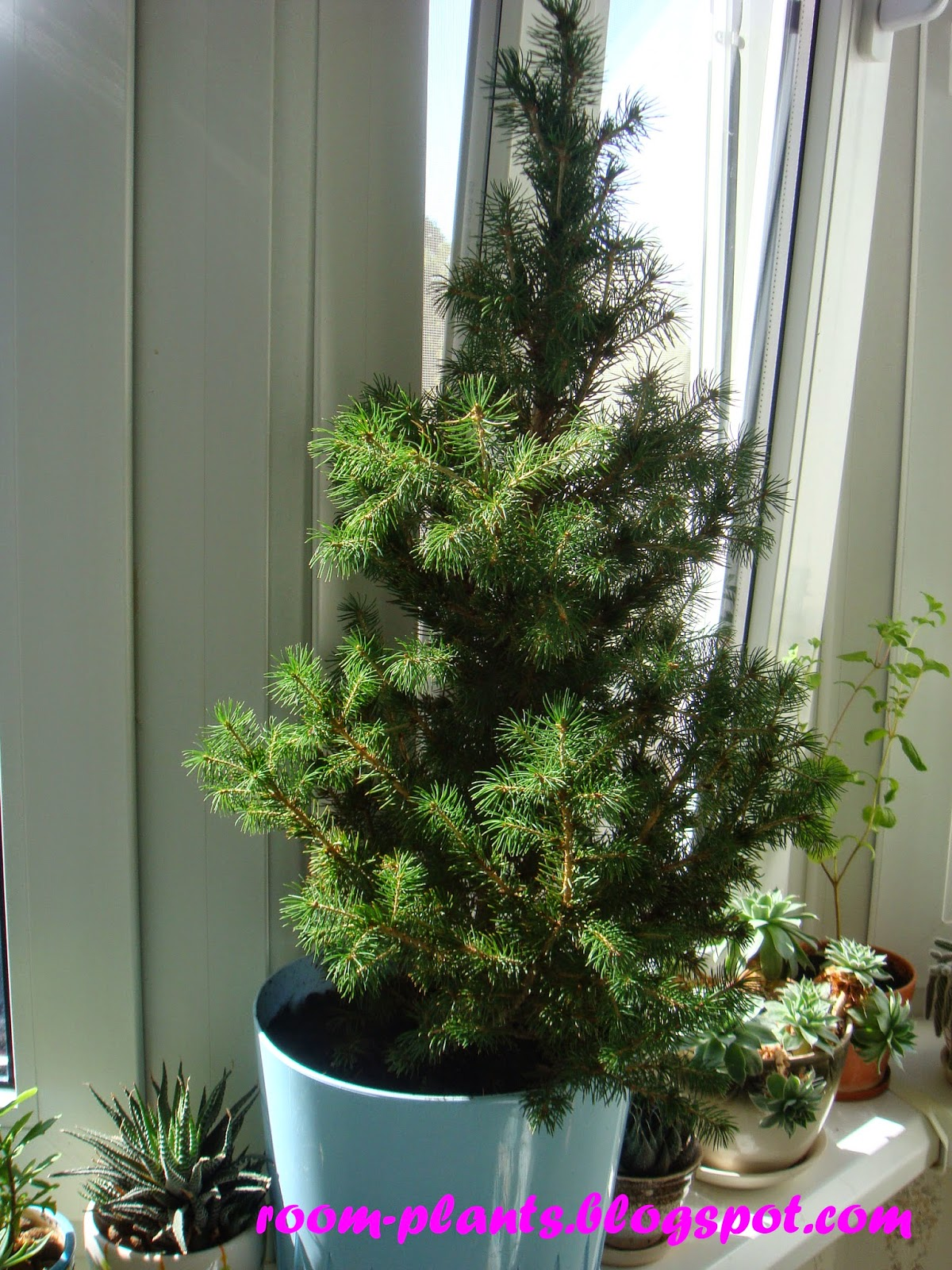 Plant 39 S The Soul Of Your Flat A Spruce In A Pot How To