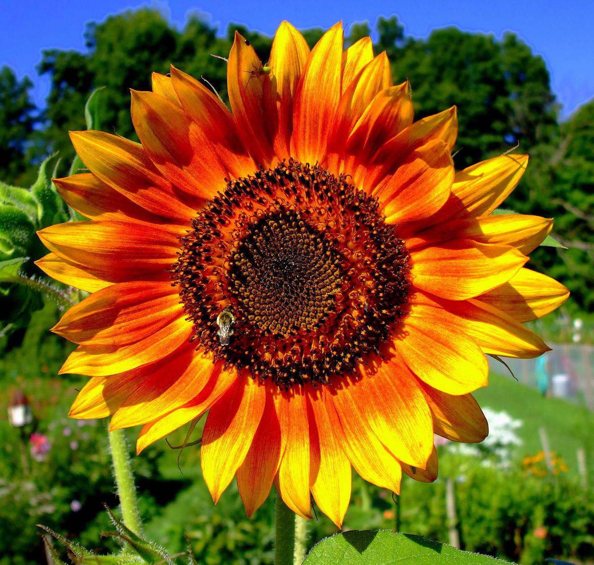 Flower Picture Sunflower Picture