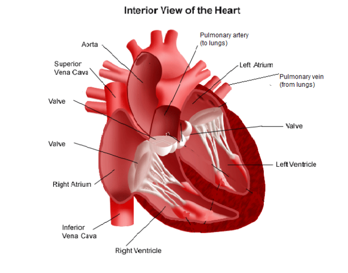 Heart diagram labeled anatomy picture reference and health news