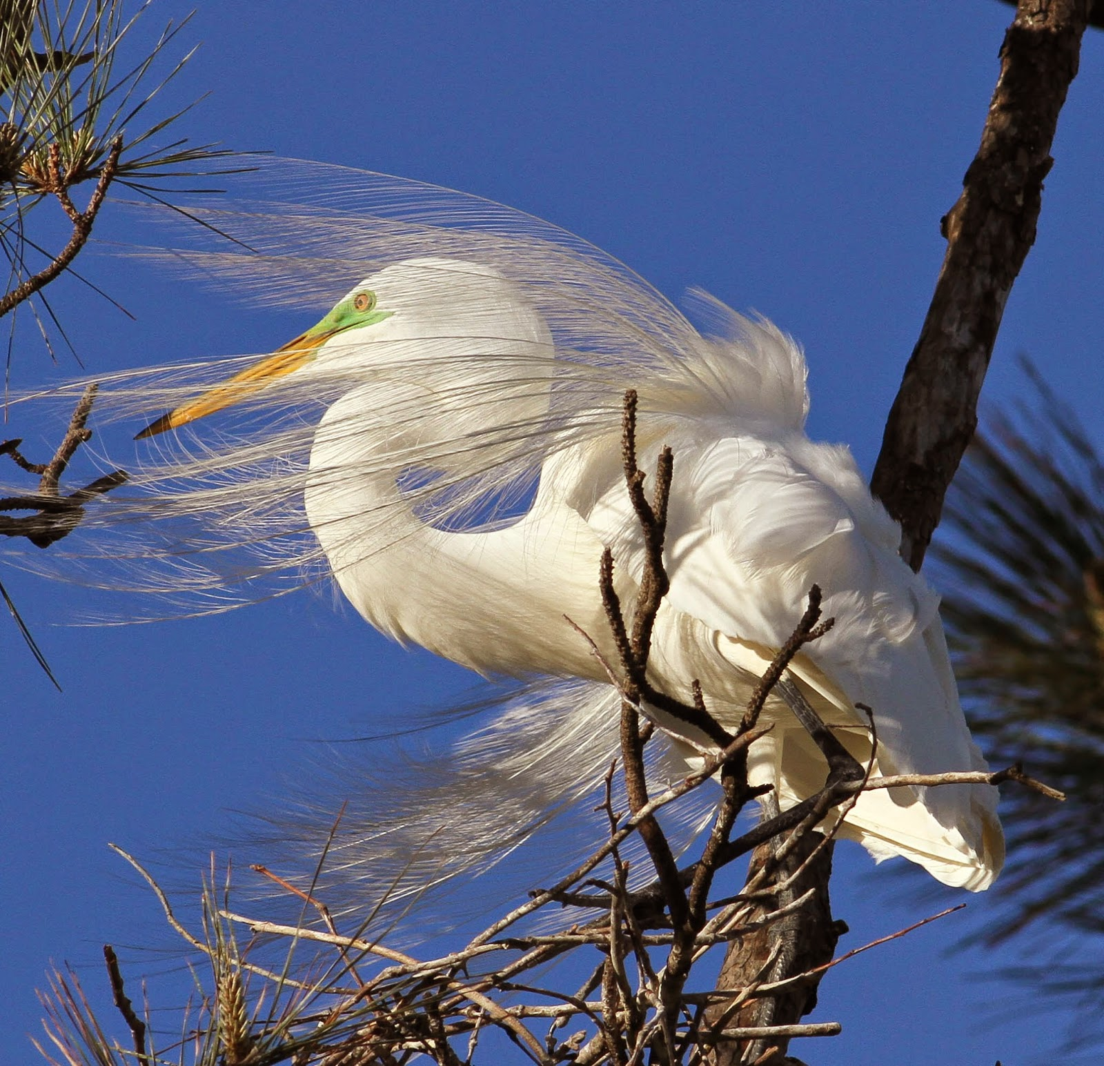 There is a small rookery in a neighborhood on Indian River Road and despite u201cpeople noiseu201d and heavy traffic a few egrets cling to the few trees that ... & On the Wing 25forcollege.com
