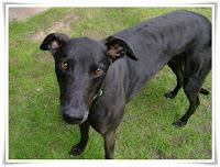 Greyhound Dog Animal Pictures