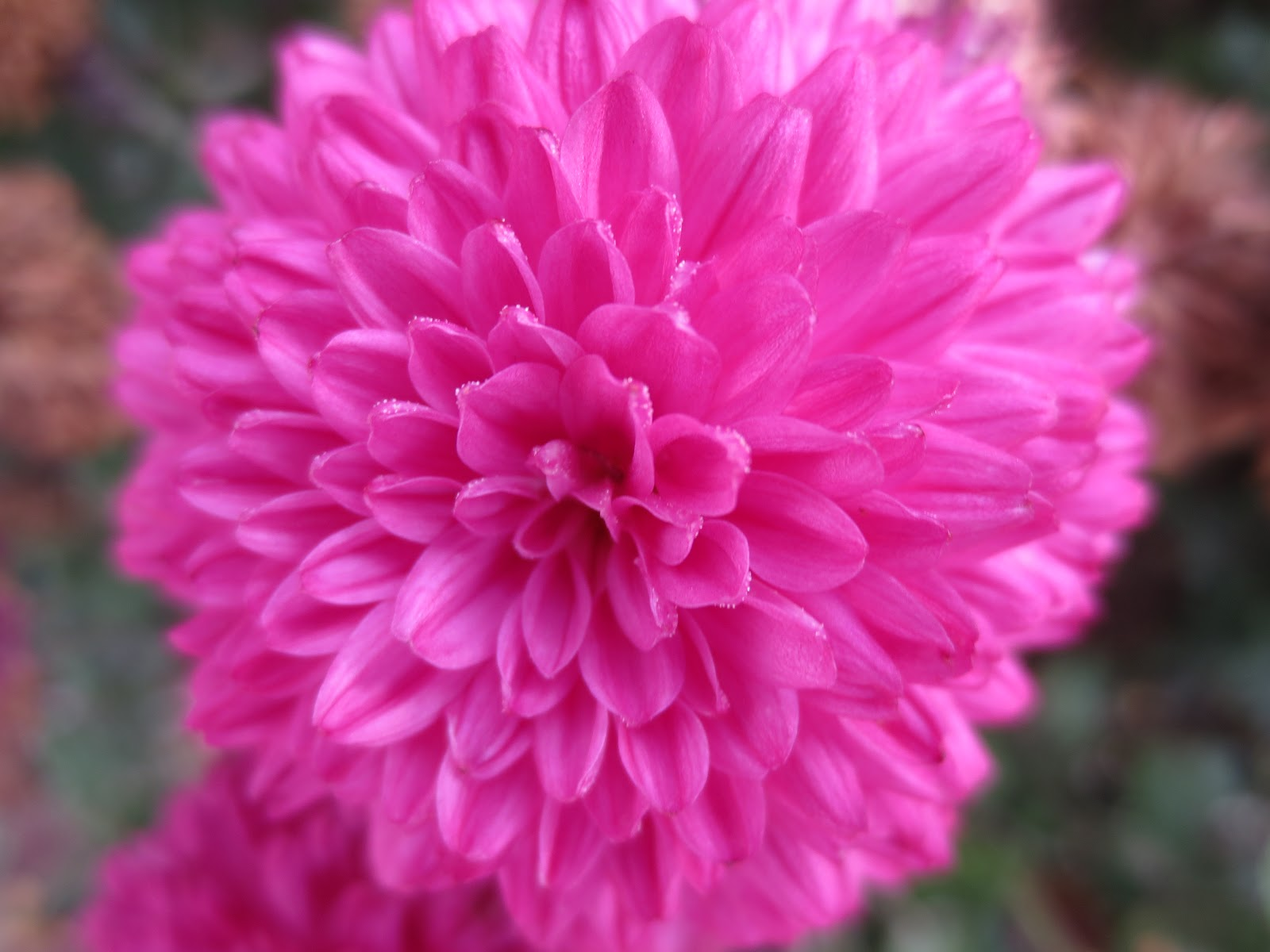 Gloria s Bits and Pieces Beautiful Fall Flowers In My Yard
