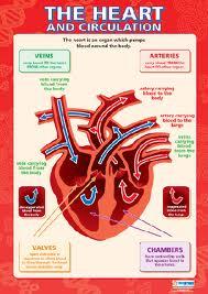 heart and circulation interactive