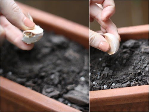 step 1 how to plant garlic