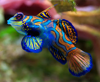 Ikan hias paling indah cantik Mandarinfish