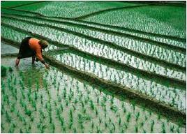 Geography is ♥: Wet Rice Cultivation