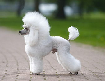Toy Poodle Blog | Parti Poodle: Parti Poodle in Cuts and Clips: Lamb ...