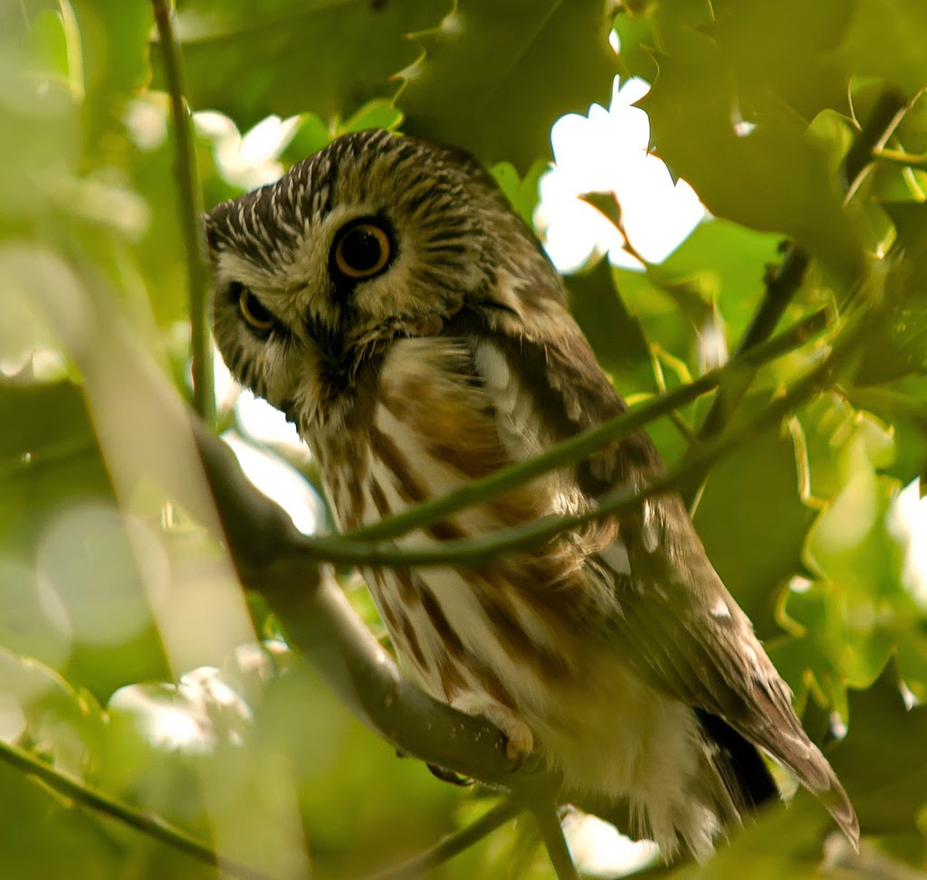 northern sawwhet owl all about owl
