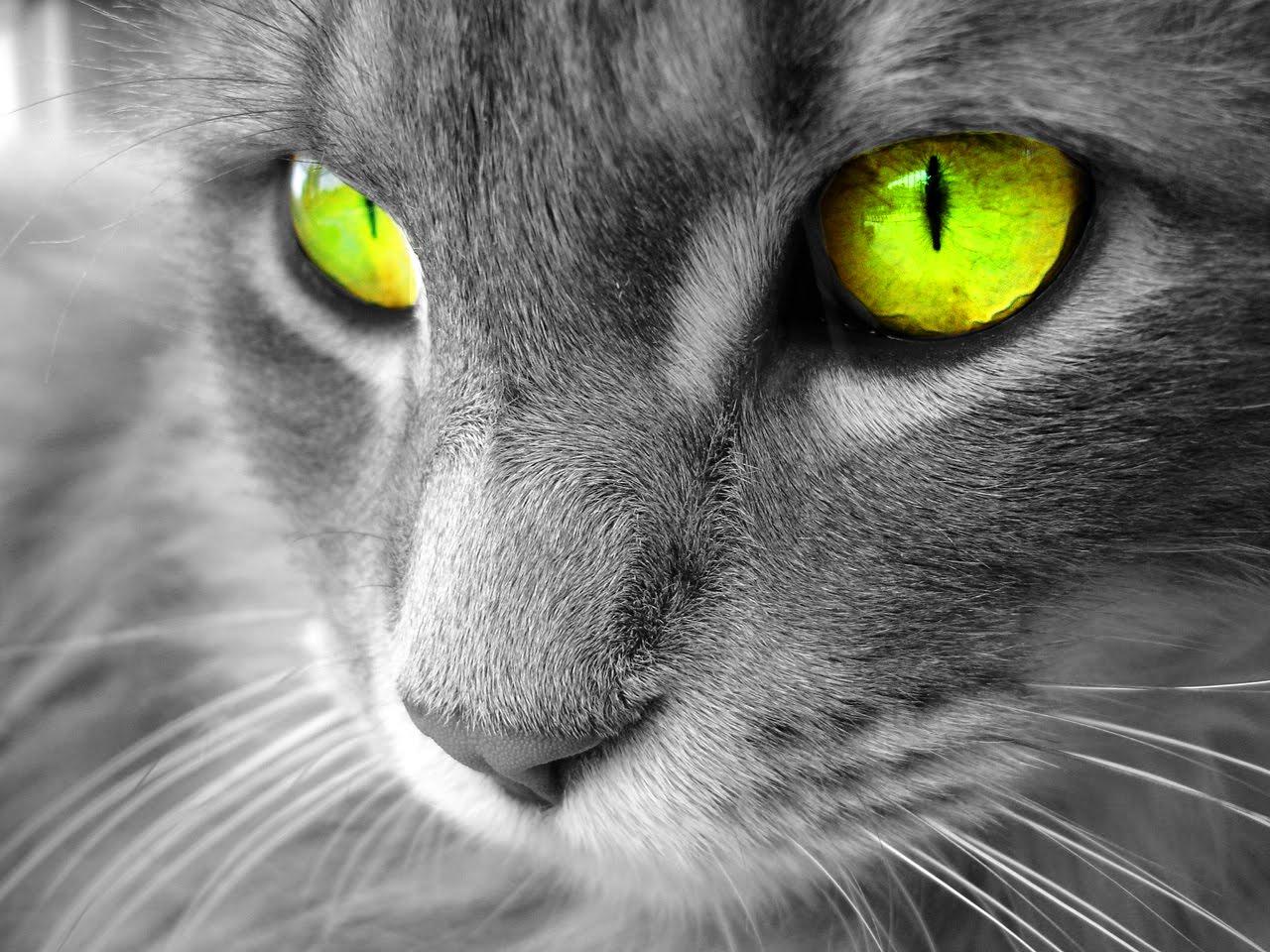 http://2.bp.blogspot.com/-GVlQH_wYT_k/T9N-ZpmnbnI/AAAAAAAAAGM/WJRamhtrzLc/s1600/gato+ojos+verdes+wallpaper+animales.jpg