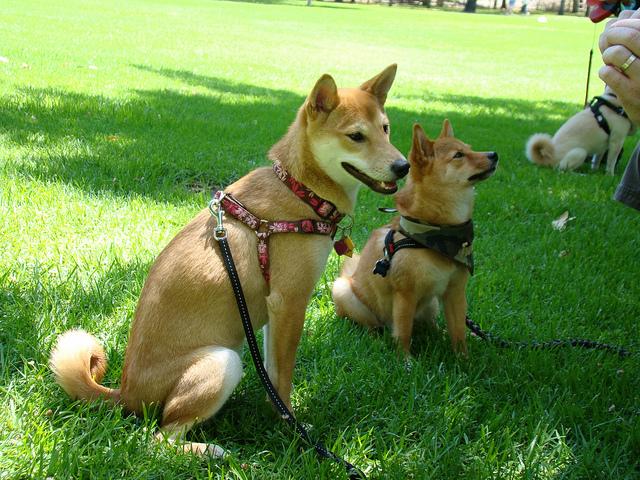 Conheça os cachorros japoneses da raça Shiba Inu