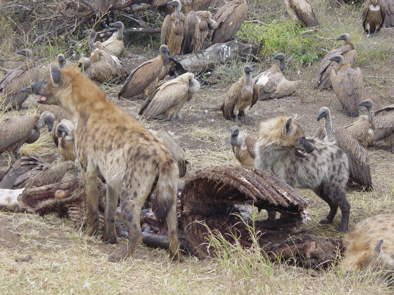 Hyenas will eat anything inthe wild do not regurgitate food for their ...