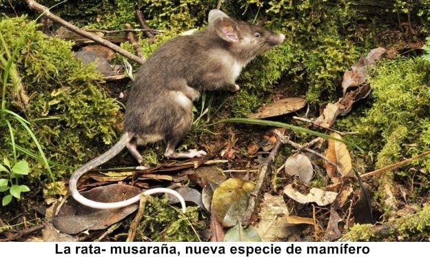 Descubierta nueva especie de mamífero, La rata- musaraña,