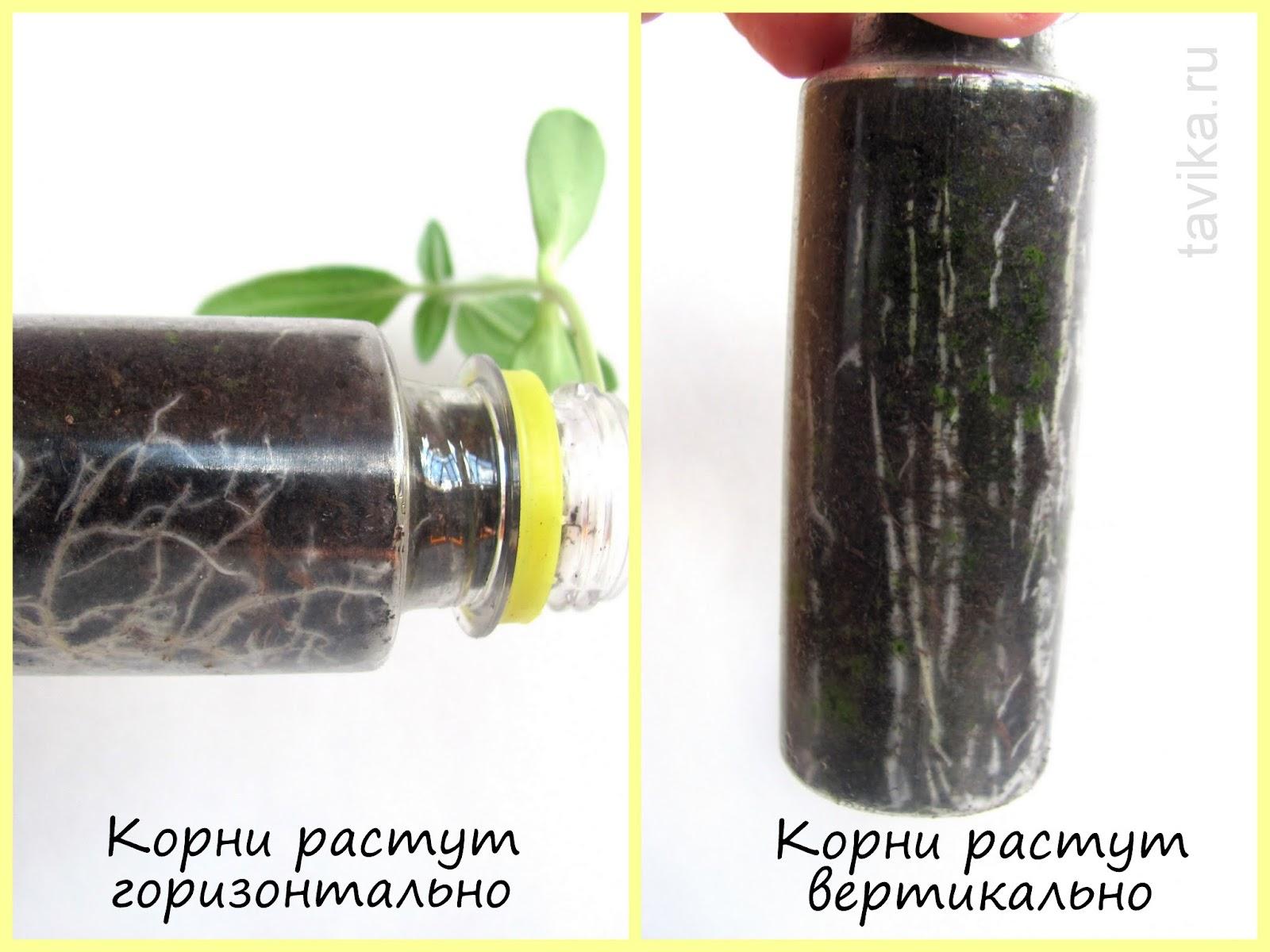 опыты с растениями для детей: геотропизм корня