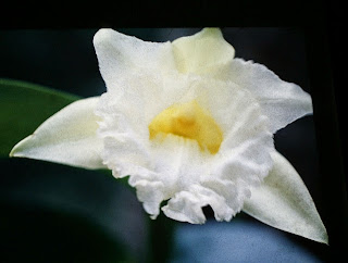 Sobralia macrophylla