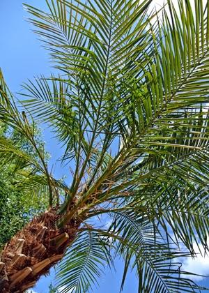 palm i trädgård