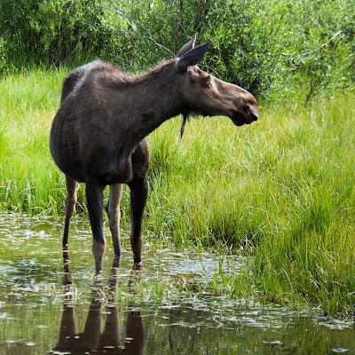 Moose Cow, Taylor Reservoir