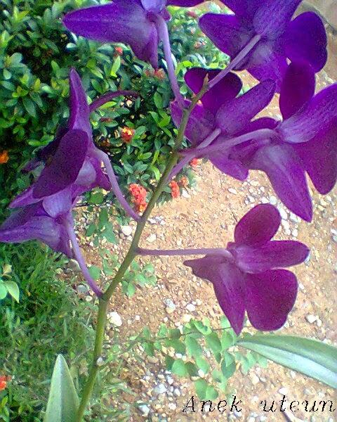 Foto Bunga Anggrek Di Rumah Saya