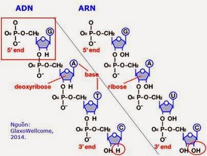 Hình 1: Cấu trúc chuỗi ADN và ARN