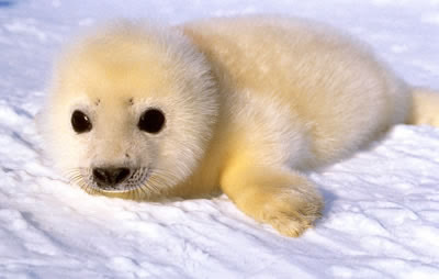 fluffy baby seal