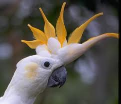 ... Adakah Kakatua Jambul Kuning | Komunitas Pecinta Hobi Burung Berkicau