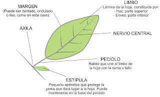 Censo arbolado publico avellaneda identificacion de arboles for Como se llaman los arboles que no pierden sus hojas