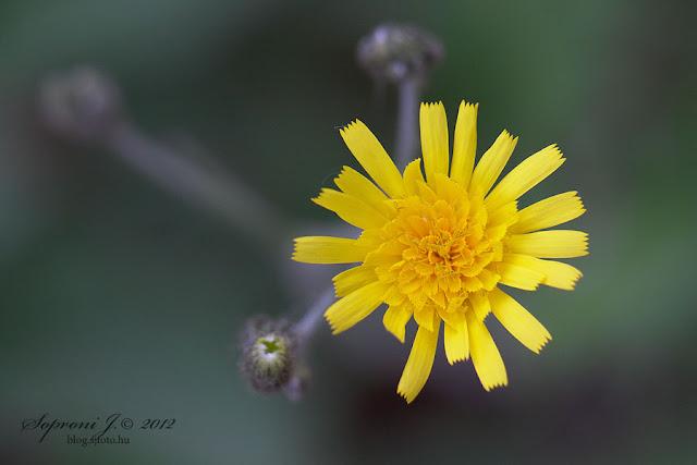 Erdei hölgymál (Hieracium murorum)