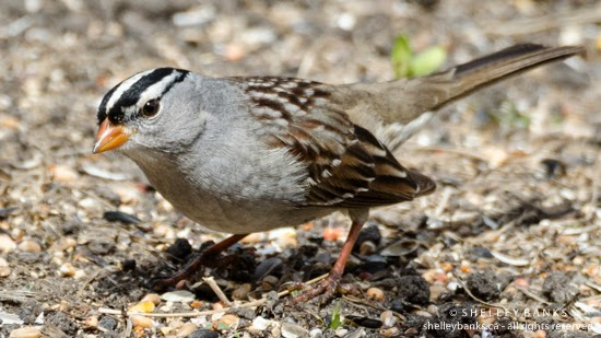 Prairie Nature: White-crowned Sparrow - with a very white head