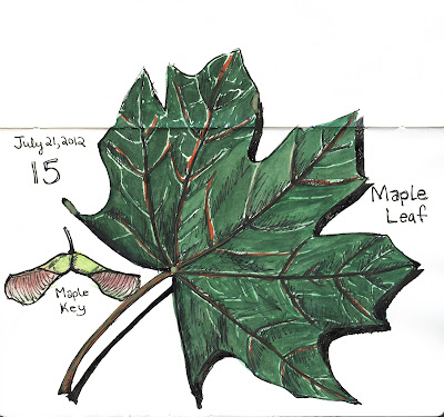 EDM 15 - Maple Leaf with Maple Key - Pen and Ink and Watercolour by Ana Tirolese ©2012