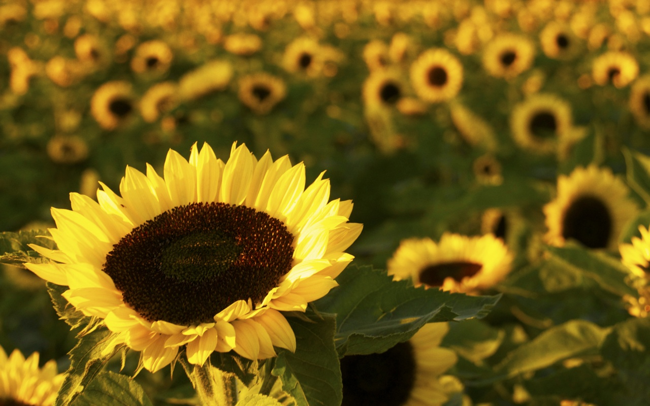 Sunflower Garden || Top Wallpapers Download .blogspot.com