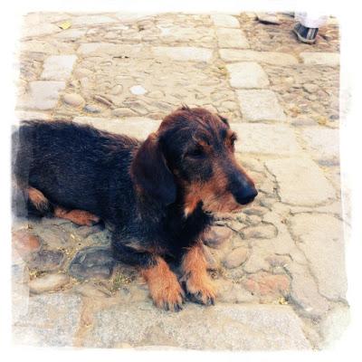 dachshund in Seville
