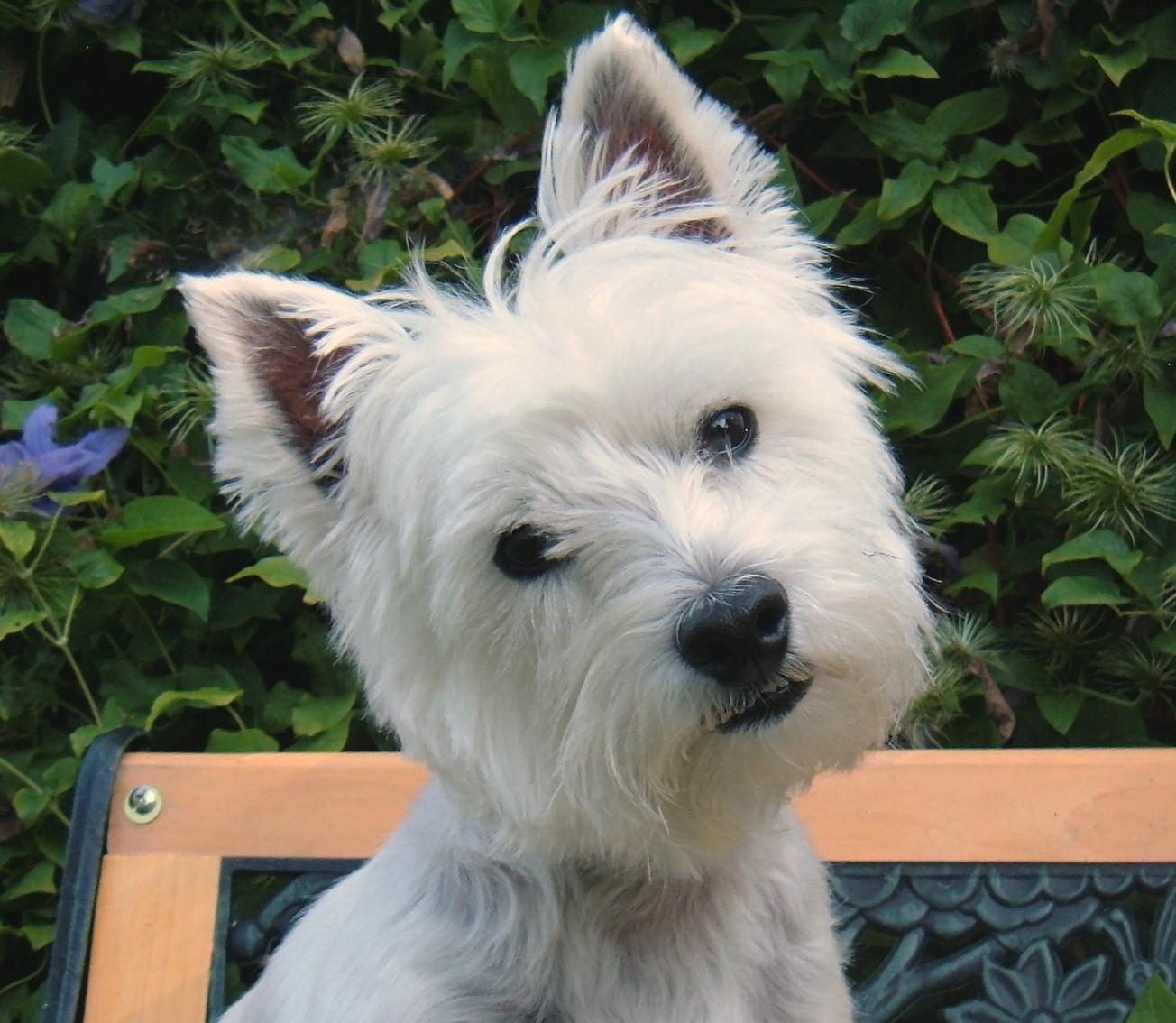 Ra as de cachorro o westie - Pictures of westie dogs ...