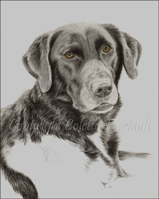 progress of dog portrait in graphite by animal artist Colette Theriault