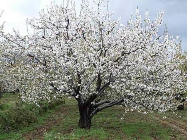 Arte y jardiner a prunus cerezo rbol con encanto for Arboles jardineria