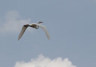 burung bangau putih atau burung kuntul