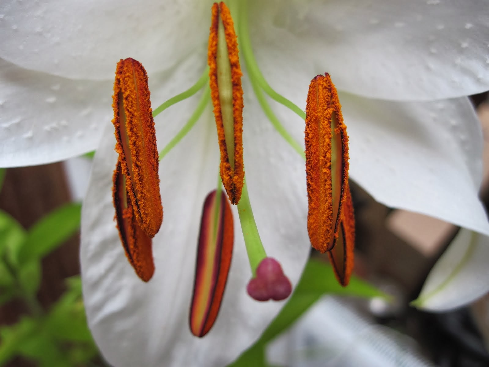 Close up Lily