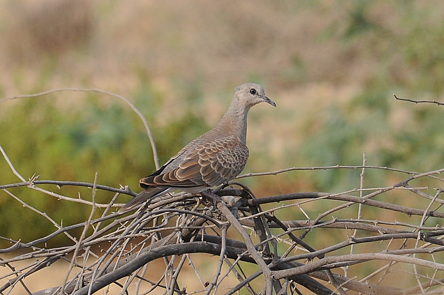 Birds Of Saudi Arabia European Turtle Dove Breeding