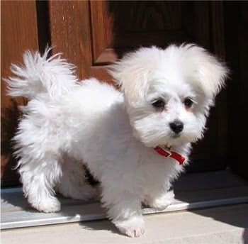 Maltese Puppy Pictures and Information