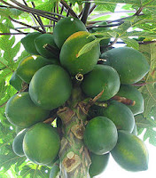 Papaya-tree