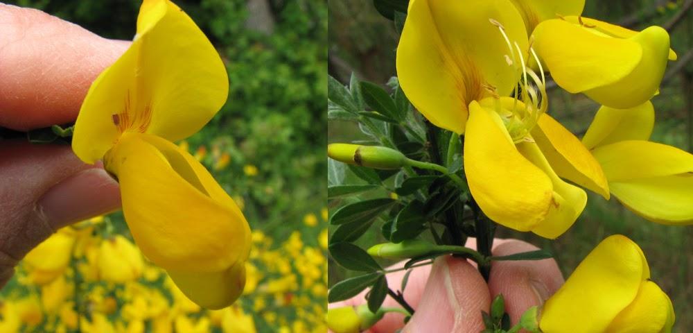 Pollinators alfalfa pollination scotch broom a papilionaceous flower being tripped beatriz moisset mightylinksfo