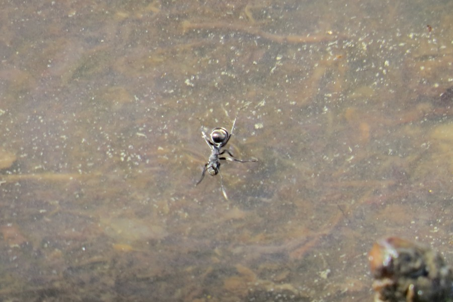 polyrhachis sokolova floating on water
