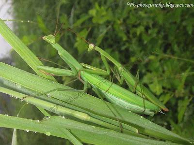 Praying Mantis Mating Picture