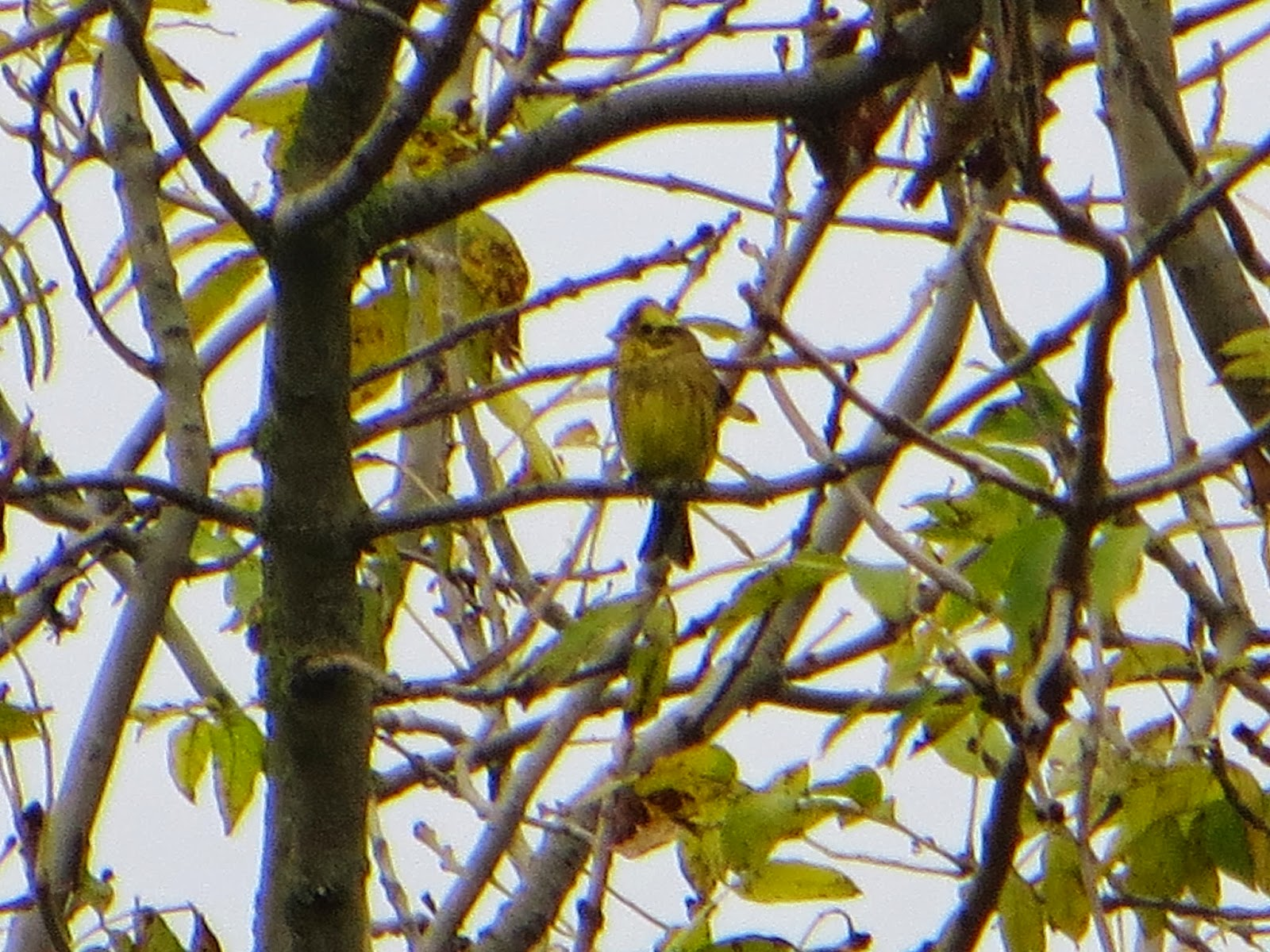 A flock of Yellowhammers sining merrily and having fun in the fields.