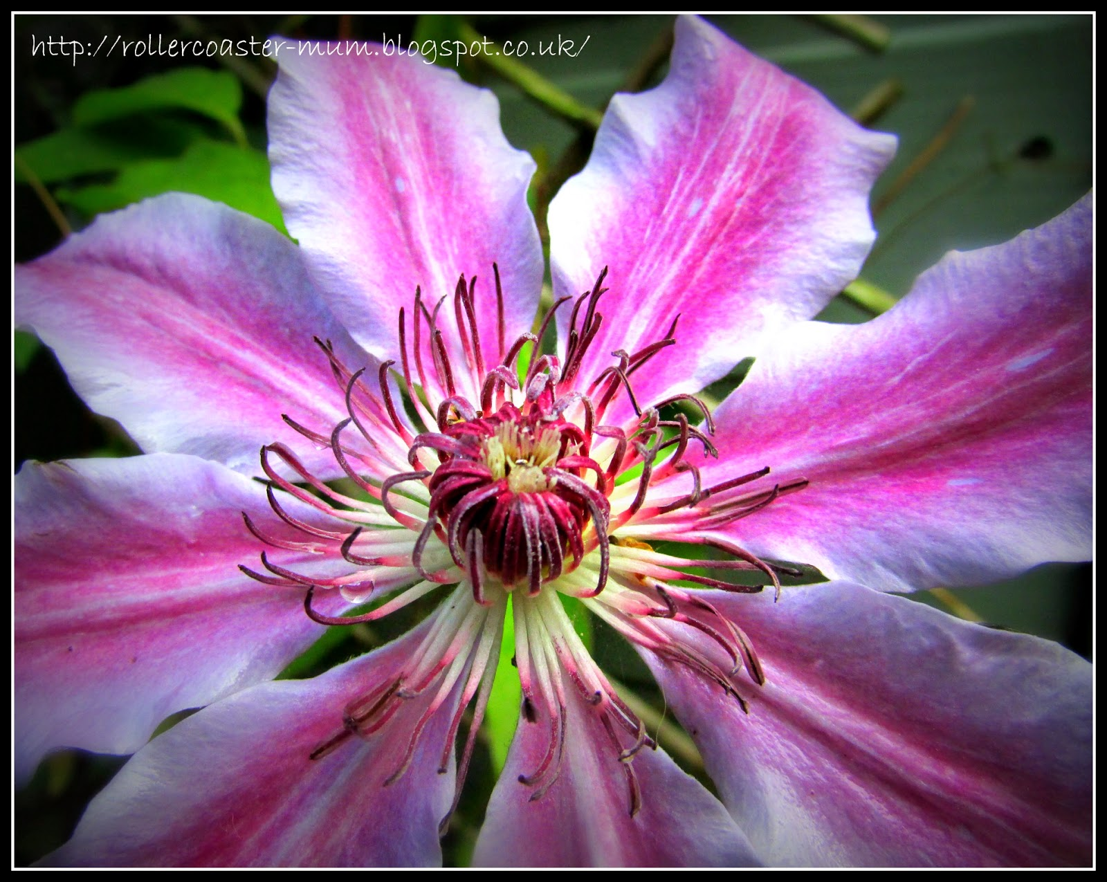 Purple and white Clematis flower