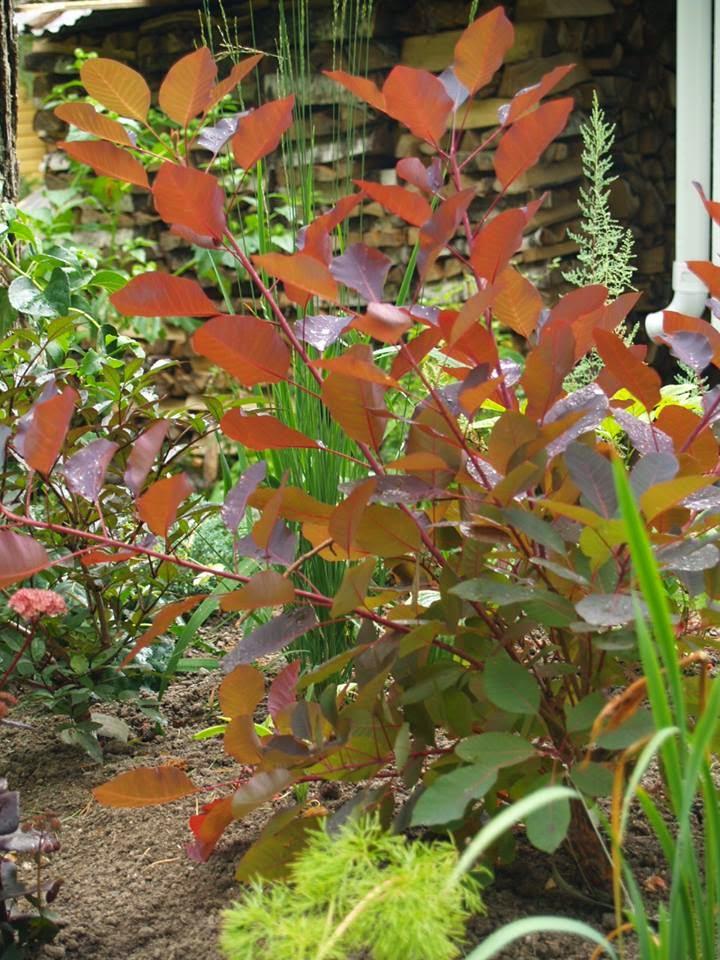 Cotinus coggygria 'Grace'