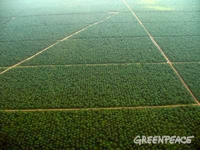 Sinar Mas Palm Oil Plantations - Nothing green could look less like the natural forest it had replaced. (Credit: greenpeace.org) Click to Enlarge.
