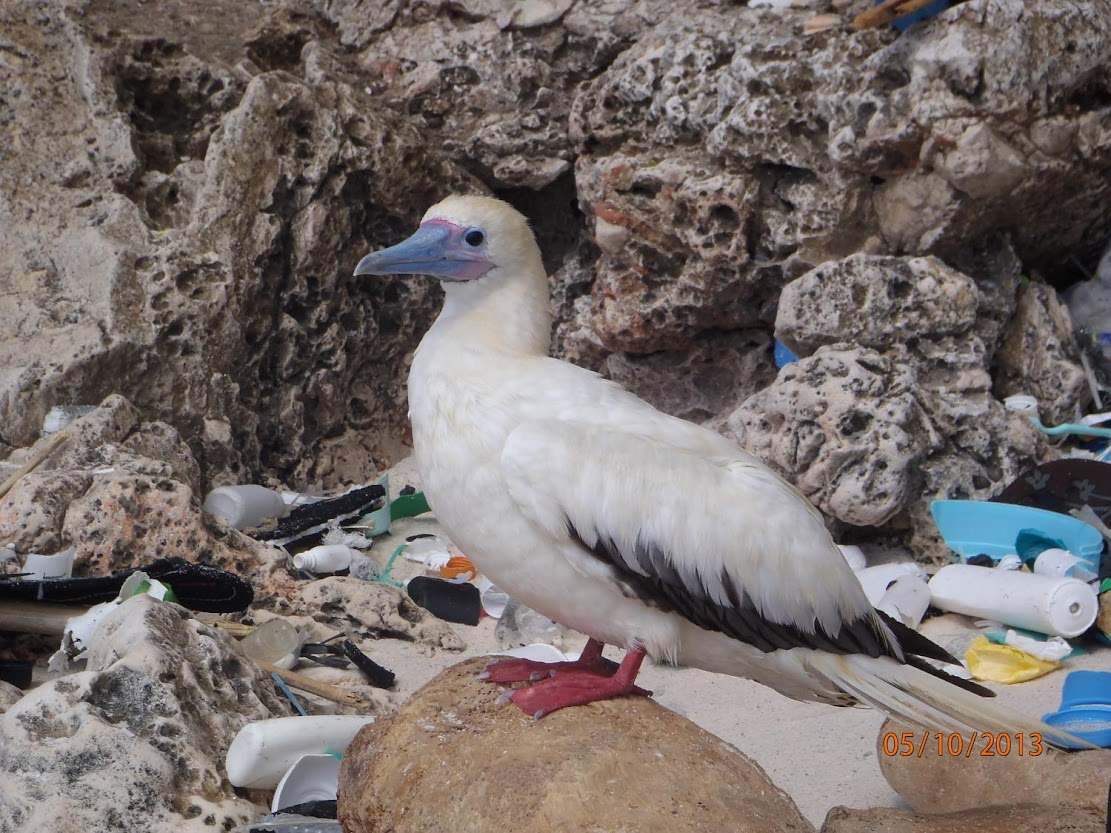 Almost all seabirds to have plastic in gut by 2050