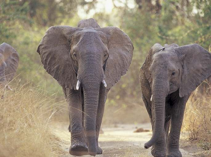 asian elephant Other articles where asian elephant is discussed: proboscidean: within the elephant family, asian elephants (genus elephas) and mammoths (genus mammathus) are more closely related to one another than african elephants (genus loxodonta) are to either.