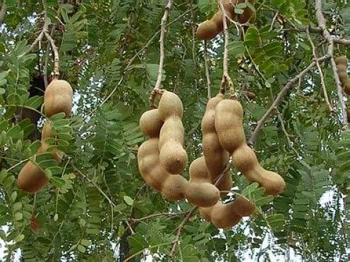 buah asam jawa