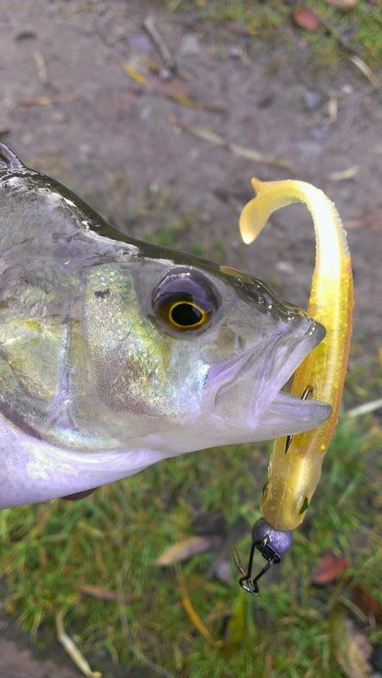 Nories shad perch lure